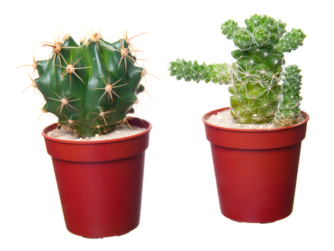 Kaktus zalévání